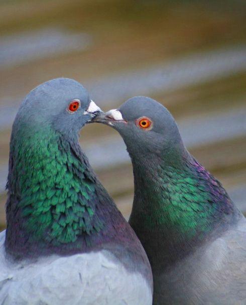 pigeonlove