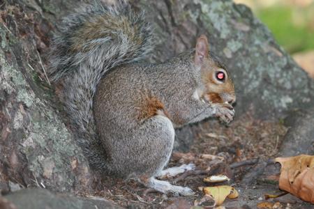 Squirrel of Death